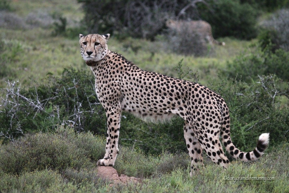 My Sunday Photo - Cheetah